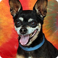 Adopt A Pet :: Chachi Chi - St. Louis, MO