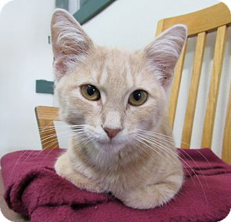 Domestic Shorthair Kitten for adoption in Grinnell, Iowa - Louise