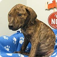 Adopt A Pet :: McDaniel - Groton, MA
