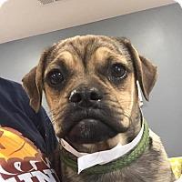 Adopt A Pet :: Swizzle - Alpharetta, GA