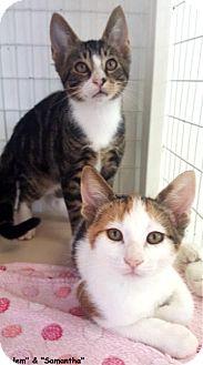 Domestic Shorthair Kitten for adoption in Key Largo, Florida - Salem