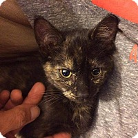 Domestic Shorthair Cat for adoption in Winnipeg, Manitoba - Tipsy