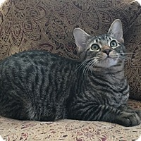 Adopt A Pet :: YETI- SUPER COOL HUGE KITTEN! - Plano, TX
