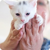 Domestic Shorthair Kitten for adoption in Huntsville, Alabama - Remington