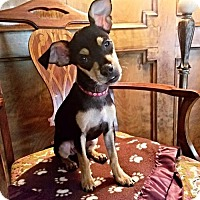 Miniature Pinscher Mix Puppy for adoption in Houston, Texas - Rory Calhoun