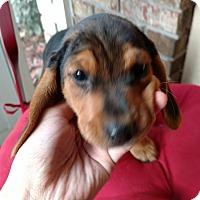 Adopt A Pet :: Pixie - Tampa, FL