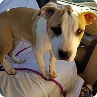 Pit Bull Terrier Mix Dog for adoption in PEORIA, Arizona - paras