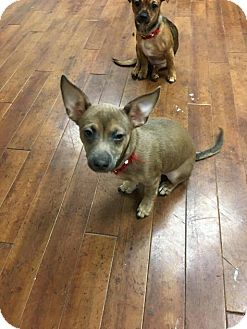 Chihuahua Mix Puppy for adoption in Charlotte, North Carolina - Riley
