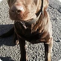 Adopt A Pet :: Bo - Pottsville, PA