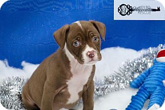 American Pit Bull Terrier Mix Puppy for adoption in DeForest, Wisconsin - Cindy Lou Who