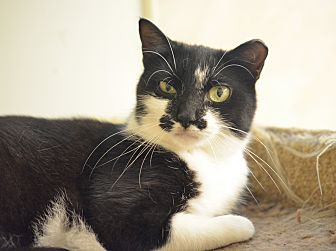 Domestic Shorthair Cat for adoption in Queens, New York - Audrey