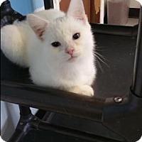 Adopt A Pet :: Salsa - mishawaka, IN