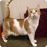 Domestic Shorthair Cat for adoption in Jupiter, Florida - Spitz
