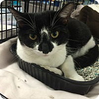 Domestic Shorthair Cat for adoption in Whitehall, Pennsylvania - Hazel