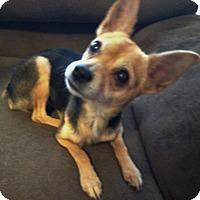 Adopt A Pet :: Pip - Las Vegas, NV