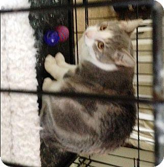 Domestic Mediumhair Kitten for adoption in Ravenna, Texas - Sam the Wabbit Hearted