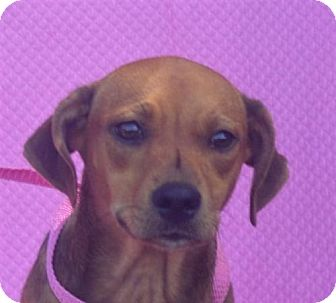 Rat Terrier/Toy Fox Terrier Mix Dog for adoption in Mukwonago, Wisconsin - **TALORI** REDUCED FEE!
