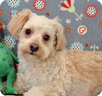 Yorkie, Yorkshire Terrier/Poodle (Miniature) Mix Dog for adoption in Irvine, California - Billy the kid