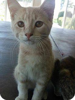 Domestic Mediumhair Cat for adoption in Columbus, Indiana - Jonah