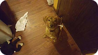 Mountain Cur/Hound (Unknown Type) Mix Puppy for adoption in Grafton, Wisconsin - Gretel