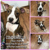 Pit Bull Terrier/Terrier (Unknown Type, Medium) Mix Puppy for adoption in Colmar, Pennsylvania - Cinderella