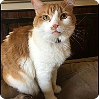 Adopt A Pet :: Tiger - Colorado Springs, CO