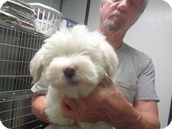 Cockapoo Puppy for adoption in Alexandria, Virginia - Sam