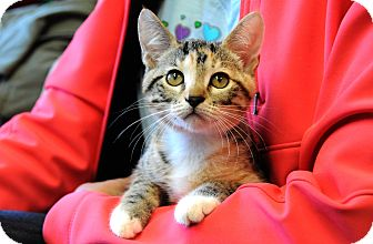 Domestic Shorthair Kitten for adoption in Houston, Texas - Lilly