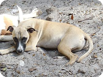 Black Mouth Cur Mix Puppy for adoption in Old Town, Florida - Smudge
