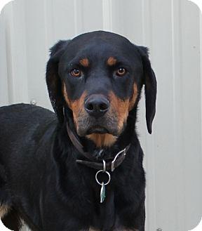 Hound (Unknown Type)/Labrador Retriever Mix Dog for adoption in Priest River, Idaho - Ruby
