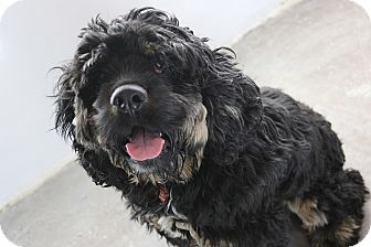 Cocker Spaniel Mix Puppy for adoption in Seattle, Washington - Woody