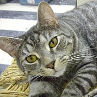 Adopt A Pet :: Cassey - Montreal, QC