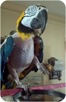 Macaw for adoption in Mantua, Ohio - NANCY