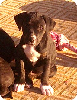Labrador Retriever Mix Puppy for adoption in Phoenix, Arizona - Adonis