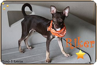 Miniature Pinscher/Italian Greyhound Mix Puppy for adoption in Rockwall, Texas - McKenzie