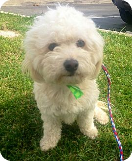 Miniature Schnauzertoy Poodle Mix Dog For Sale In Encinitas | Dog ...