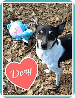 Rat Terrier Dog for adoption in Raleigh, North Carolina - Dory
