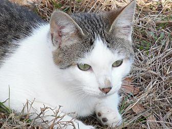 American Shorthair Kitten for adoption in Melbourne, Arkansas - Auggie