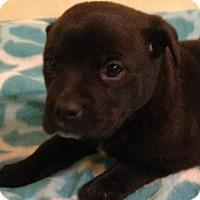 Adopt A Pet :: Brooke - Trenton, NJ