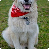 Great Pyrenees/Anatolian Shepherd Mix Dog for adoption in Whitewright, Texas - Bowie
