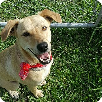 Labrador Retriever/Terrier (Unknown Type, Medium) Mix Dog for adoption in San Leon, Texas - Minnie