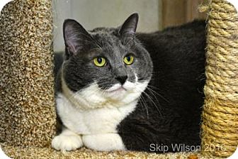 Domestic Shorthair Cat for adoption in Neenah, Wisconsin - Abby