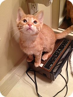 Domestic Shorthair Kitten for adoption in Hartland, Michigan - Crush