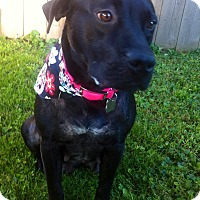 Adopt A Pet :: Layla - Springfield, MO
