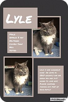 Domestic Longhair Cat for adoption in CLEVELAND, Ohio - Lyle