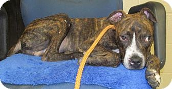 Boxer Mix Dog for adoption in Chester, South Carolina - MARK C-16-1091