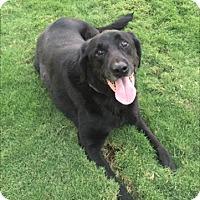 Labrador Retriever Dog for adoption in Cumming, Georgia - Scout