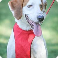 Hound (Unknown Type)/Pointer Mix Dog for adoption in Plano, Texas - Frazier