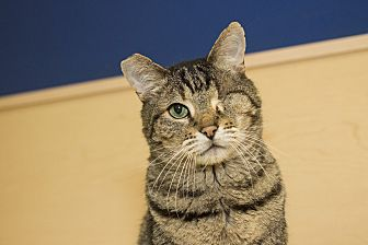 Domestic Shorthair Cat for adoption in North Hollywood, California - Keys
