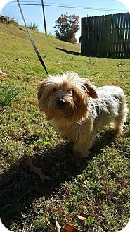 Silky Terrier/Yorkie, Yorkshire Terrier Mix Dog for adoption in Arlington, Tennessee - Beezus